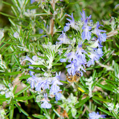 A bee on the flowers of Rosmarinus Officinalis