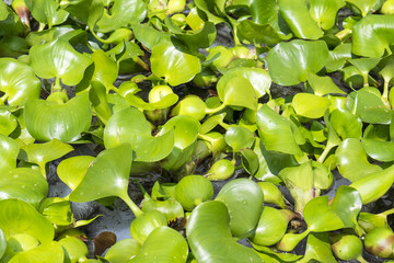Water Lettuce Aquatic Plants