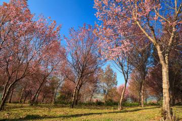 Sakura flowers blooming blossom in PhuLomLo Loei Province , Thai