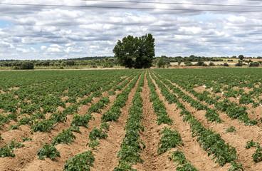 Patatas campo