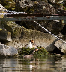 Crested grebe (podiceps cristatus) nest in rocks