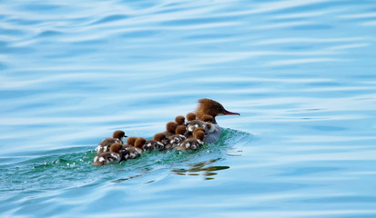 Female goosander (mergus merganser) and babies