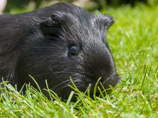 Black Guinea pig (Cavia porcellus) in the grass