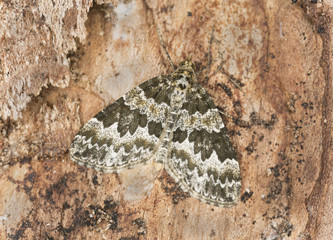 Broken-barred Carpet, Electrophaes corylata on wood