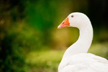Goose who looks