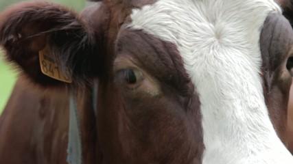 Vaches abondance et tarine en plan sérré