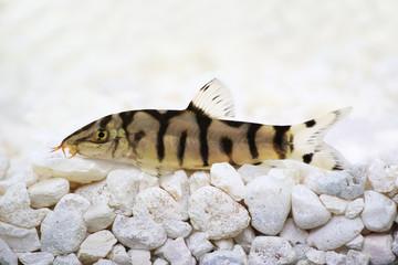 Yoyo loach Almora or Pakistani loach, Catfish Botia almorhae