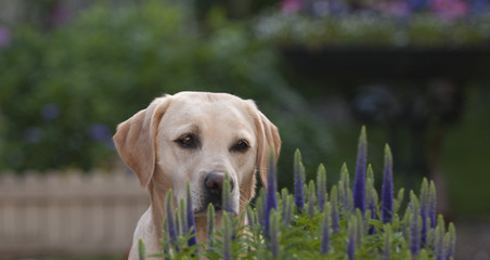 pretty labrador dog