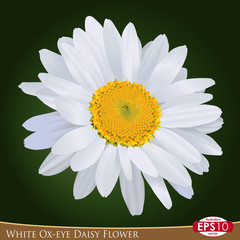 White Ox-eye Daisy Flower 1