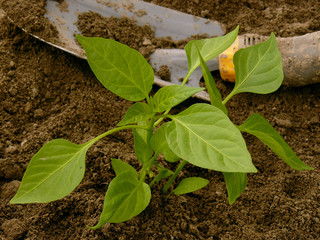 pepper seedling and small shovel on vegetable bed