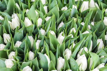 Background of white tulip flowers