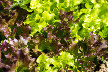Organic Lettuce at the home garden
