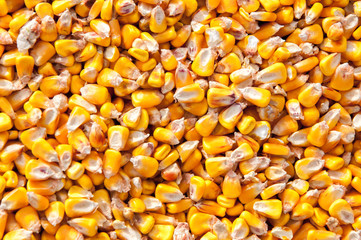 Corn seed background