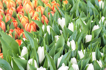 Background of white and orange tulip flowers