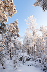 Forest full of snow