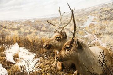 Caribou Resting