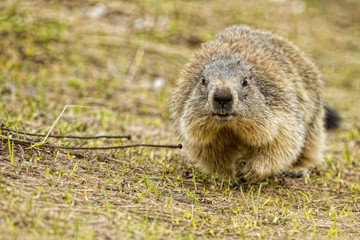 Isolated marmot portrait while coming to you
