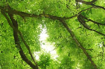 Blätterdach einer Robinie in Froschperspektive