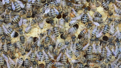 bees inside hive