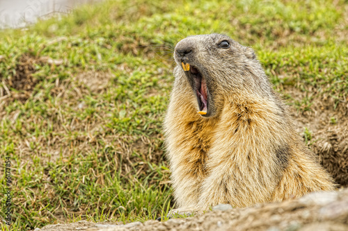 Isolated marmot portrait while yawning