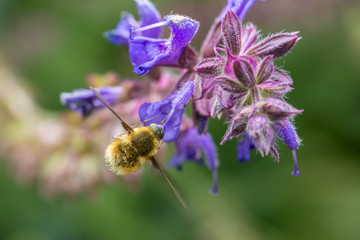 The Large Bee-Fly (Bombylius Major) Gathers Flower Pollen