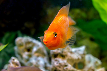 beautiful aquarium decorative orange parrot fish