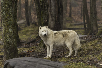 Arctic wolf in a forest