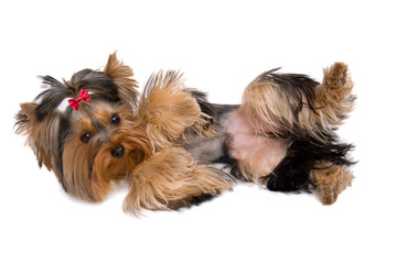 Cute yorkie playing dead - isolated on white