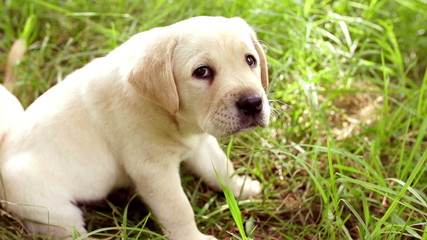 Cute young labrador puppy in grass