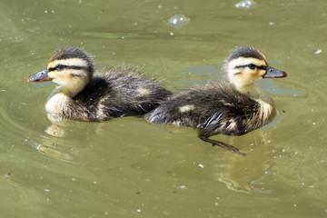 Two Mallard chicks
