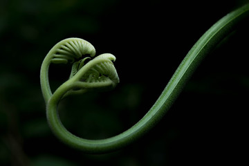 シダ植物の芽