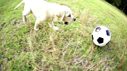 Puppy chasing football in park