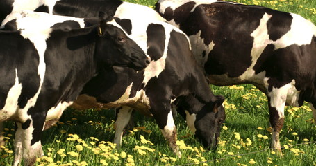 Four black and white spotted cows eating FS700 4K Odyssey7Q