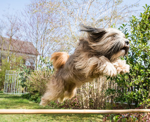 Tibetan Terrier Dog in Action