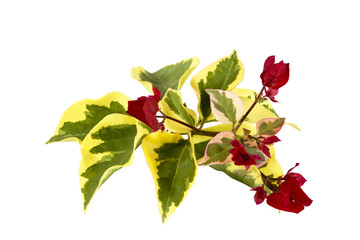 Bougainvillea Sprig of Variegated Leaves and Red Flowers