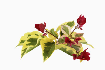 Red Flowers and Variegated Leaves of Bougainvillea