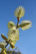 Catkins of pussy-willow against blue sky