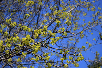 Flowers of maple against blue sky background