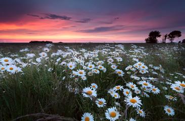sunset over chamomilr flowers field