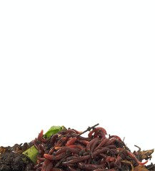 Background of earthworms in compost on white