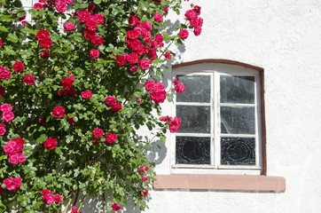 beautiful rose bush near window on wall