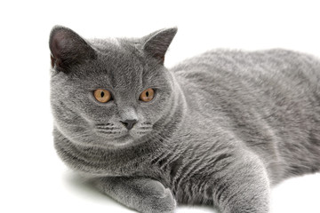 gray cat (breed scottish-straight, age 6,5 months) on white back