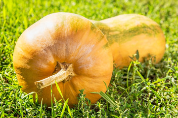 Yellow pumpkin on a green grass