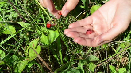 Closeup of woman girl hand gather pick wild strawberry in meadow