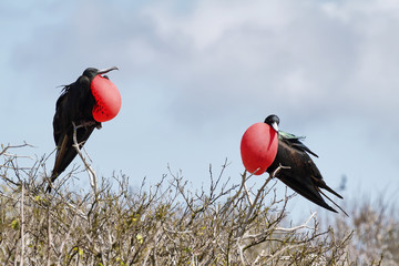 Two great Frigate Birds