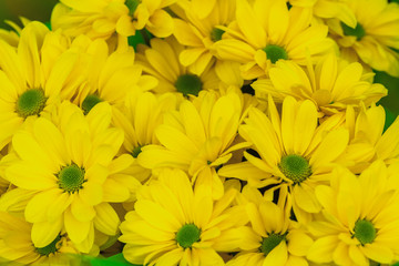 Yellow chrysanthemum floral background