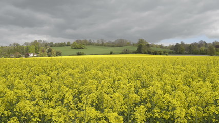 Sunlight moving across a Rapeseed field