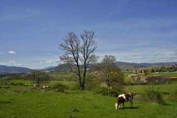 La vache etr l'Ardèche