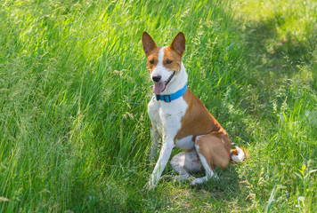 Cute basenji dog having rest in spring grass
