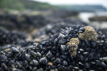 Mussels on a barnacle covered rock